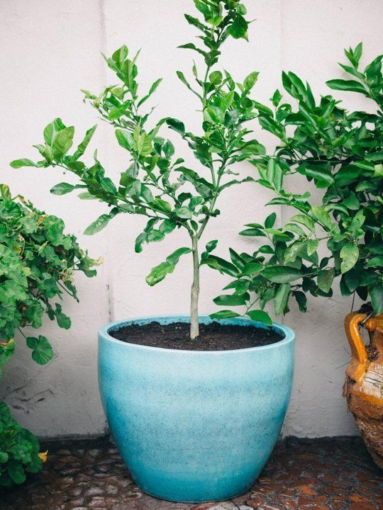 how to grow a citrus tree in a container