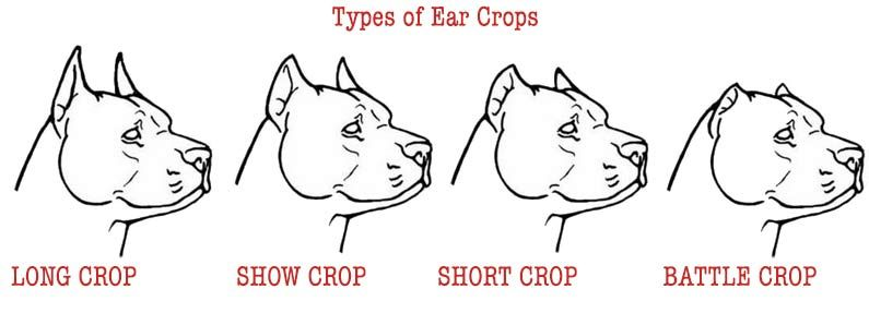 Cropping Your Dog S Ears The Ultimate Guide Dog Ear Ear Style