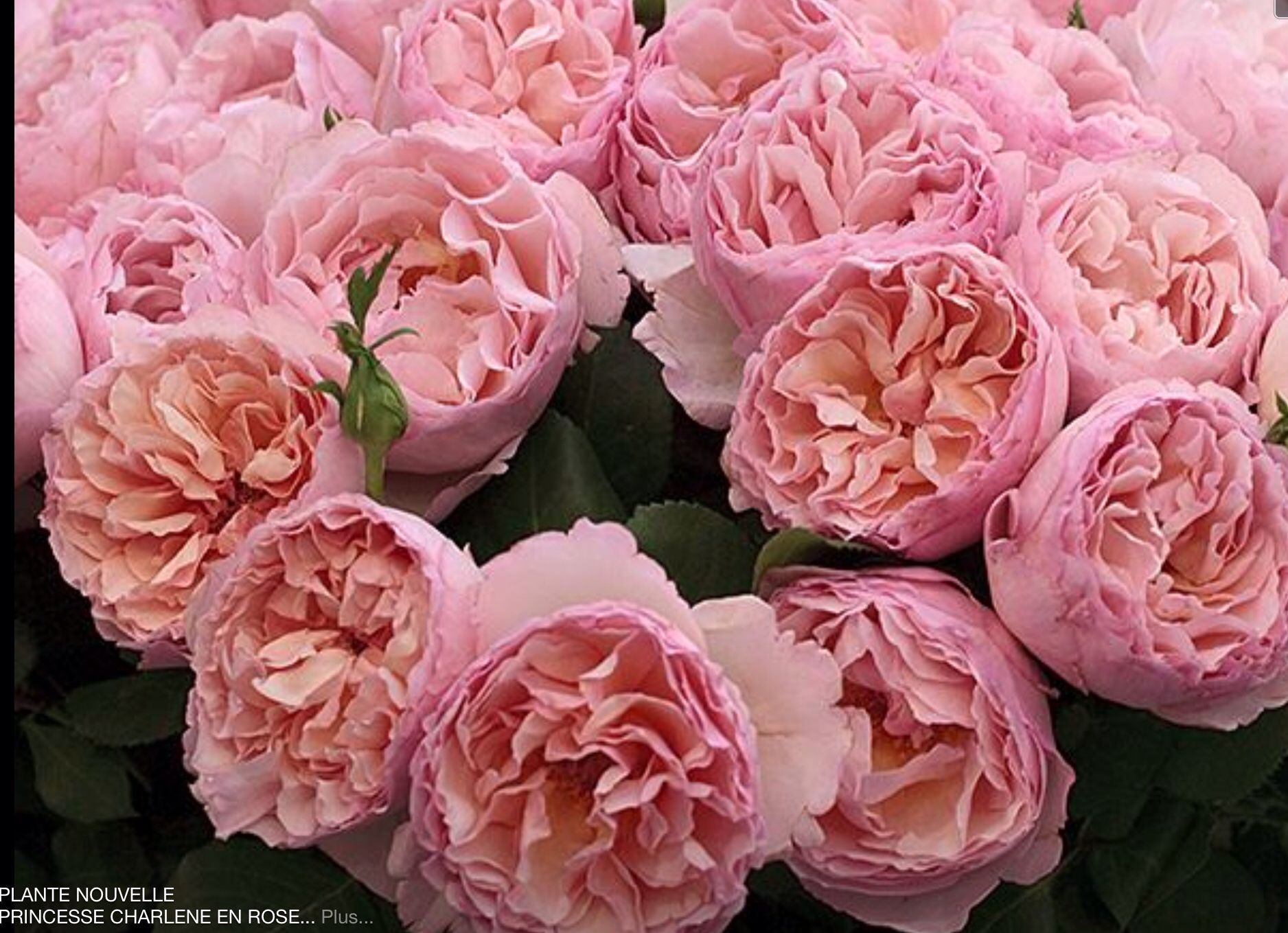 New to join our collection - the Princess Charlene rose! | Tambuzi ...