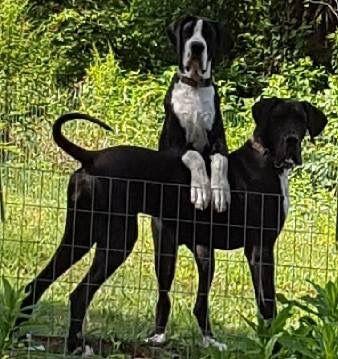 Great Dane Dog Breed Information Deutsche Doggen Deutsche Dogge Lustige Tiere