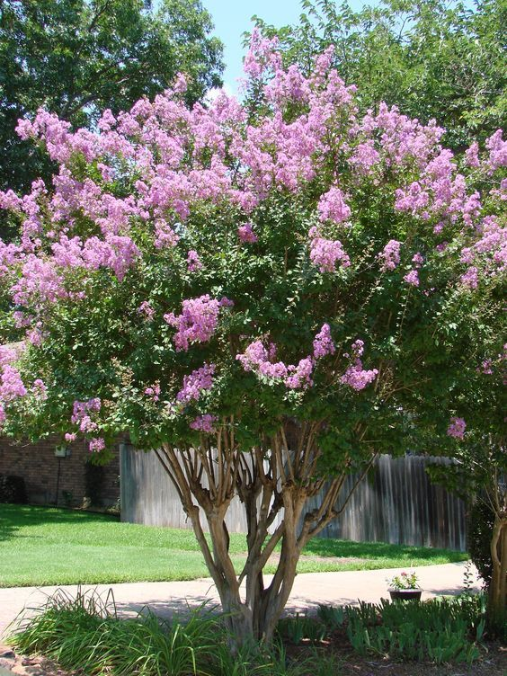 Zuni 8 10 Lavender Small Tree Or Shrub Myrtle Tree