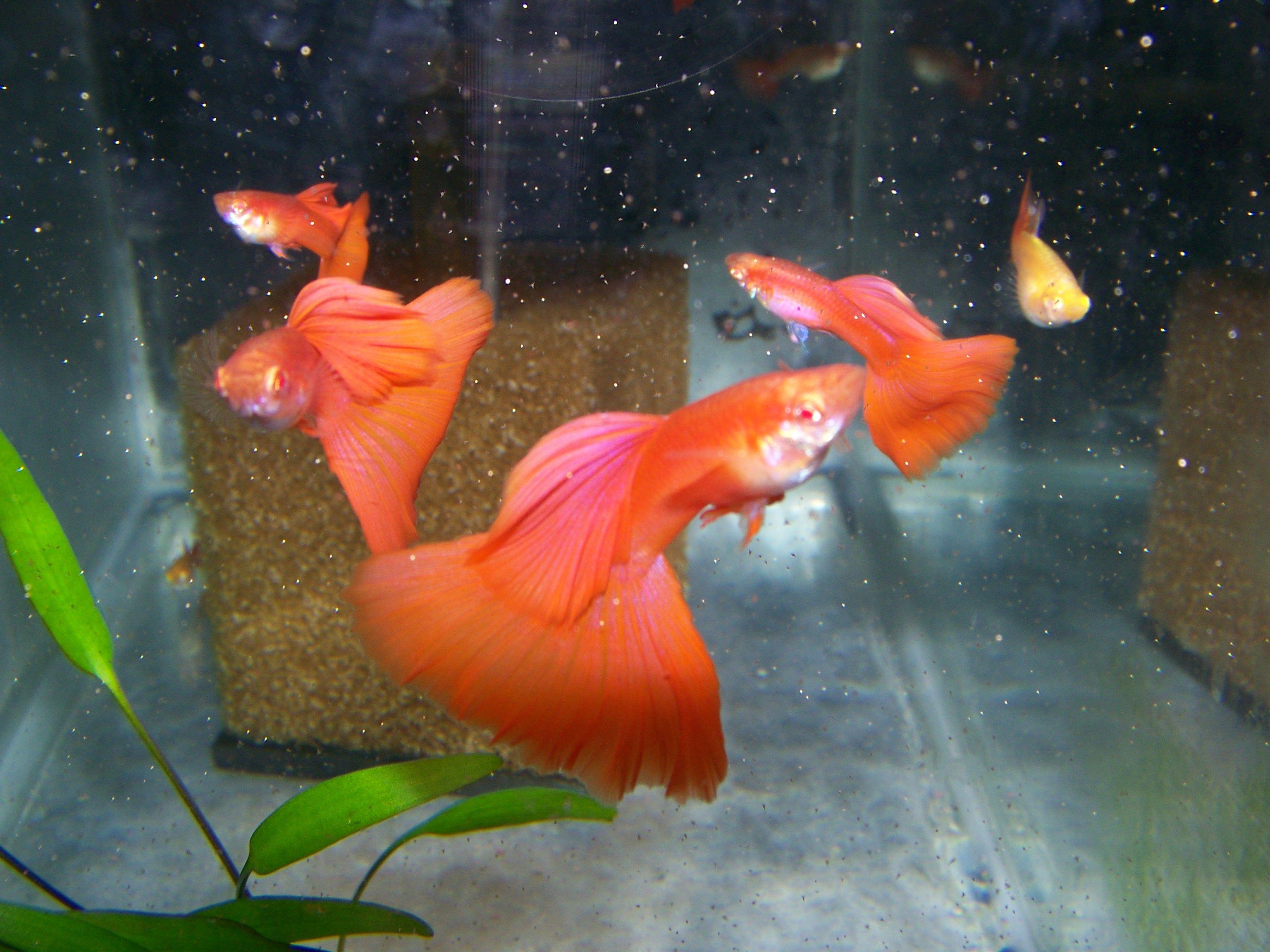 Luke S Guppy Pics Prices Guppy Fish Guppy Freshwater Aquarium Fish
