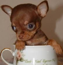 Chocolate Brown Teacup Chihuahua Chihuahua Puppies Cute Baby