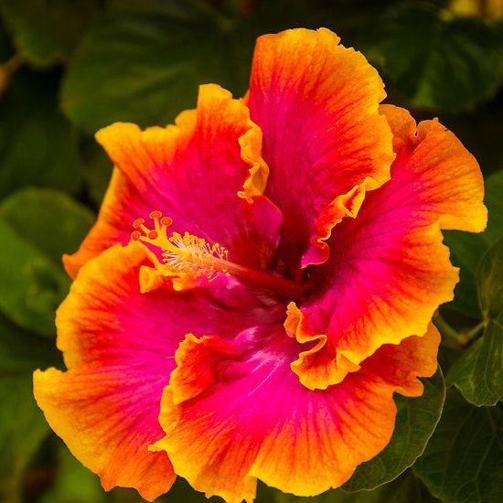 Hawaiian Multi Colored Hibiscus From Kauai Hawiian Flowers Hibiscus Flowers