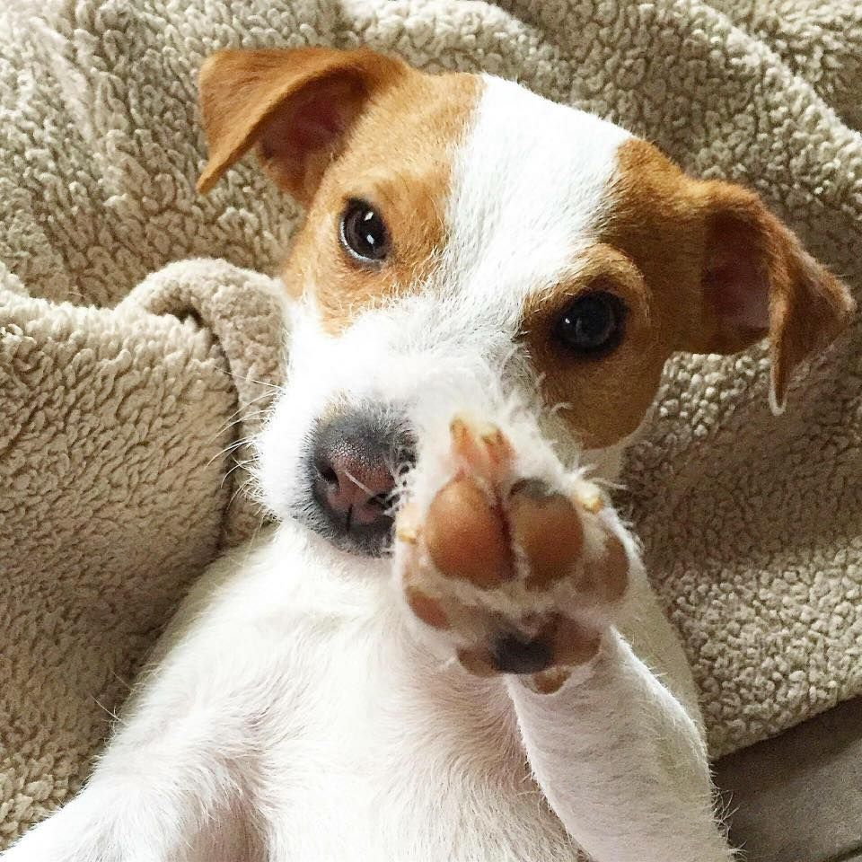 Jack Russell Terrier Infos, Conseils... Tout savoir sur