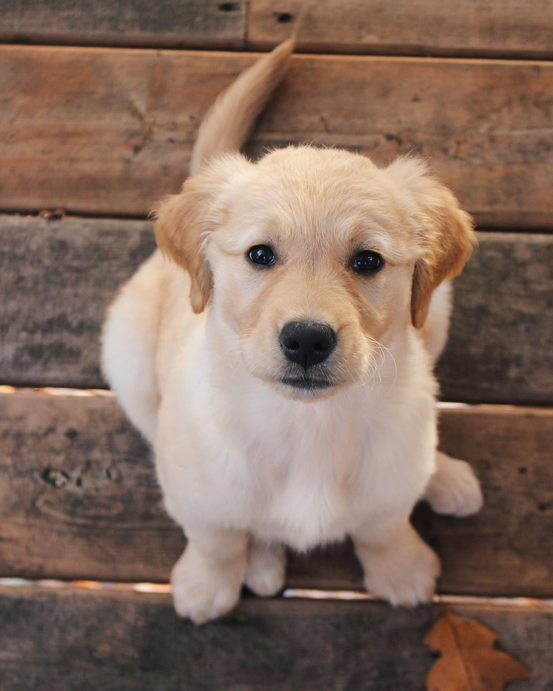 My Hoomans Cant Resist My Puppy Dog Eyes Golden Goldenretriever Petsmart Canada Petsmartcanada Dogs Puppy Dog Eyes Dogs Golden Retriever