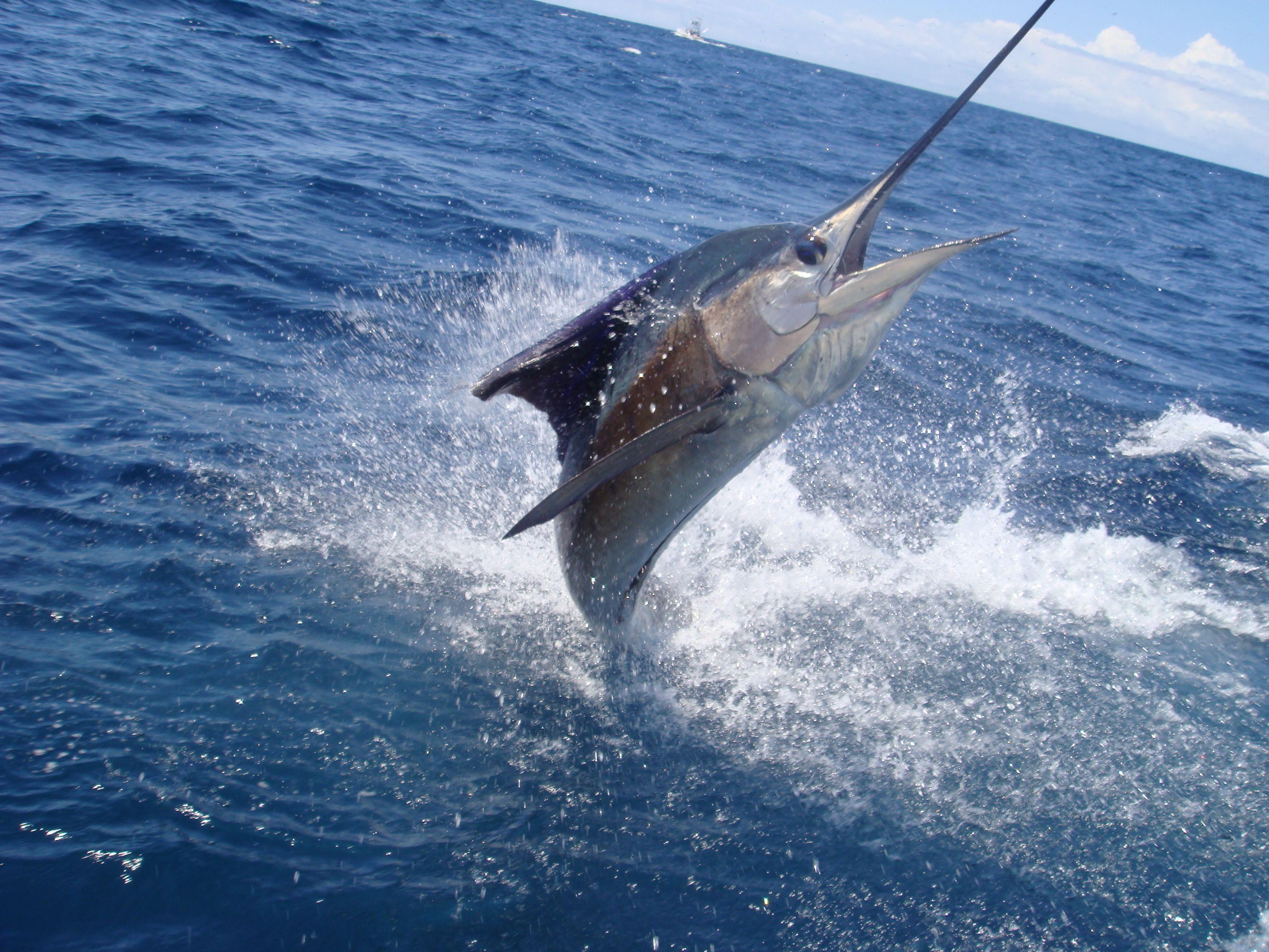 Piden crear leyes que protejan a los peces vela y marlin