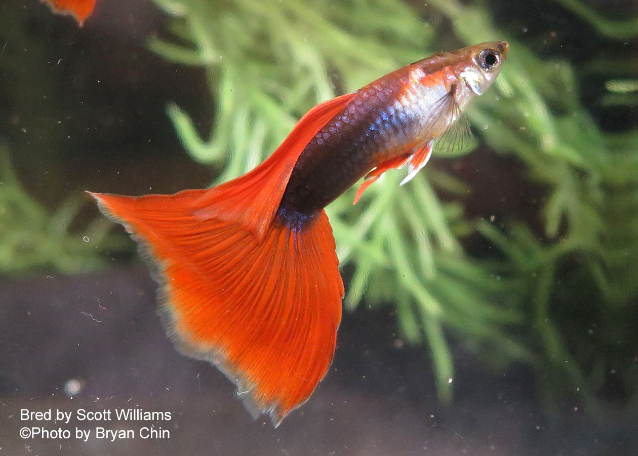 35+ Different Types of Guppies In The World With Beautiful Pictures ...