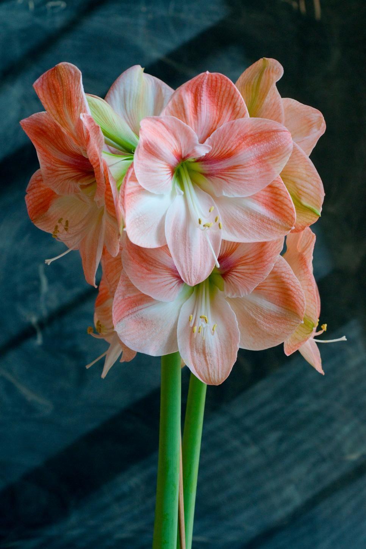 9 Stunning Amaryllis Varieties Amaryllis flowers