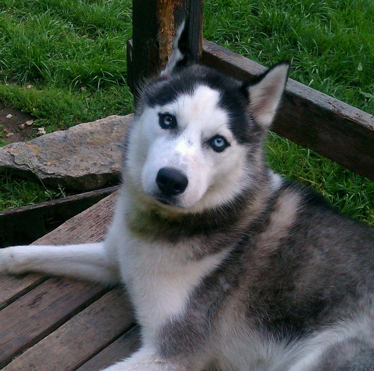 Lost Dog Ldr L3875 4 10 14 Siberian Husky Male Black White