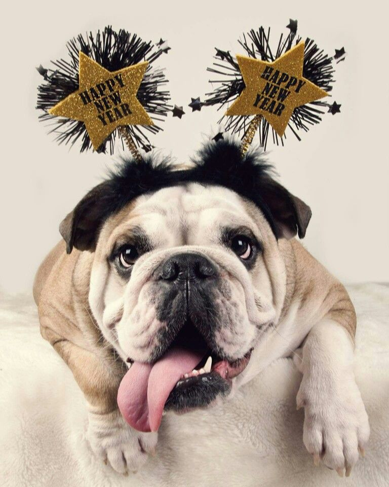 English bulldog happy New year merry christmas Happy new