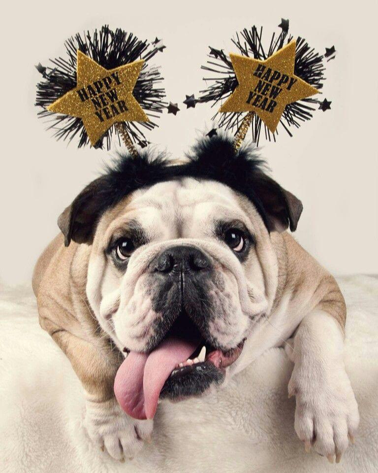 English bulldog happy New year merry christmas Happy new