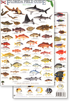 Florida fish species florida reef fish identification for Florida saltwater fish species