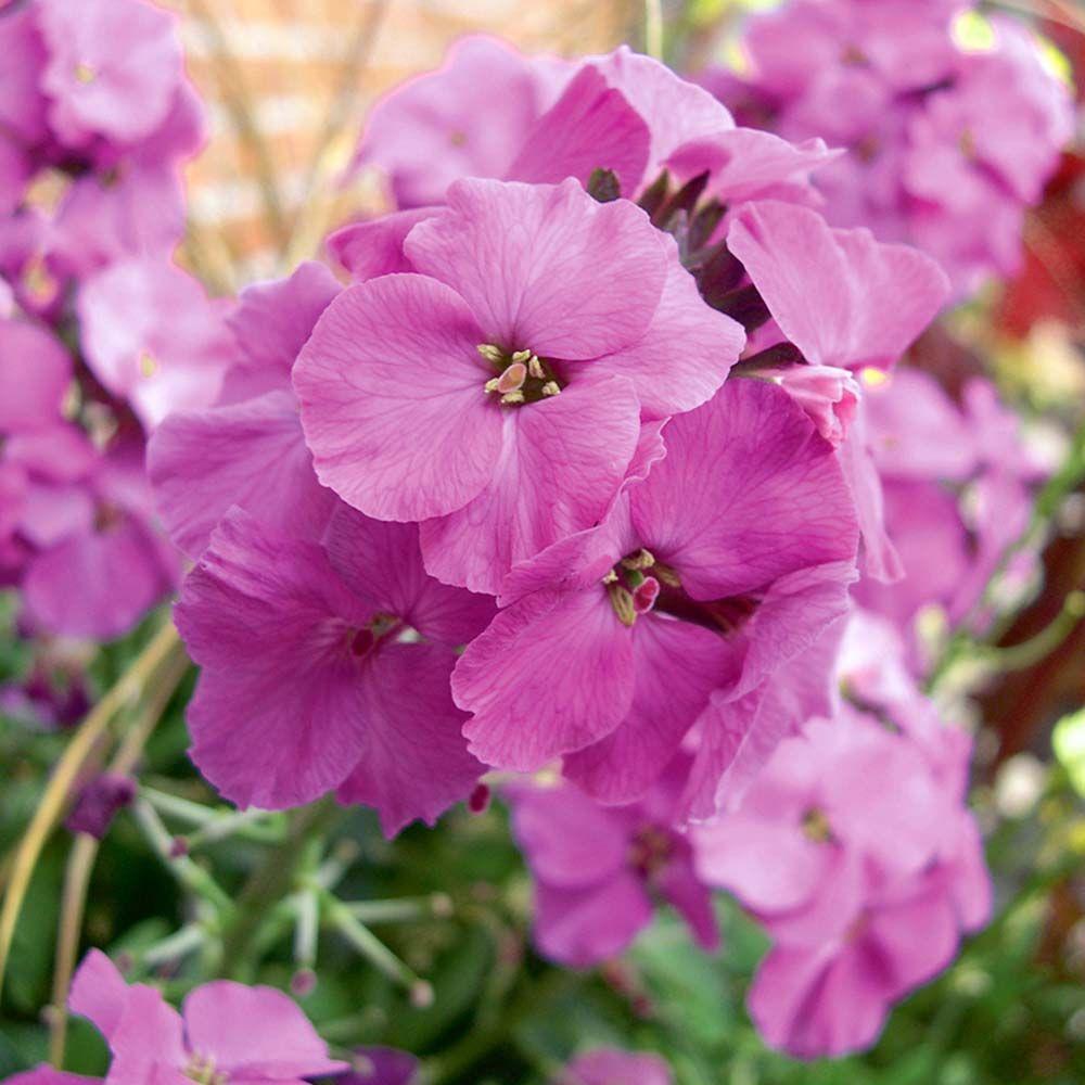 Wallflower Winter Joy