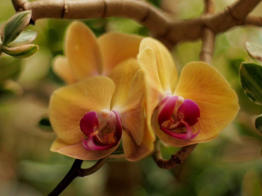 All sizes   Moth orchid flowers in a variegated Jade plant @ f/1.4.   Flickr - Photo Sharing!