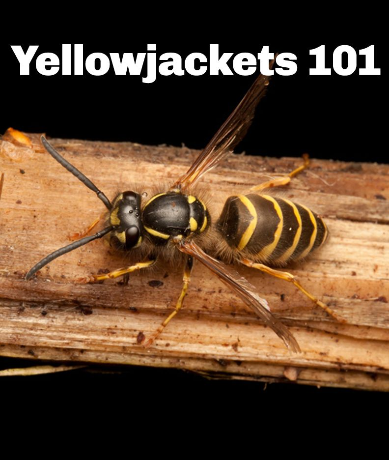 Everything You Need To Know About Yellowjackets Pestworld Yellow Jacket Sting Bees And Wasps Two By Two