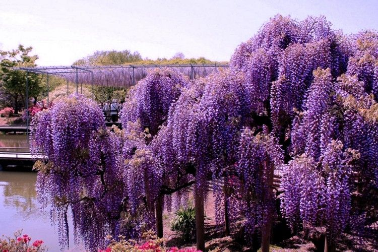 Incredible Wisteria Tunnel Japan Wisteria Trellis Blumen Anbauen Blumenbaum