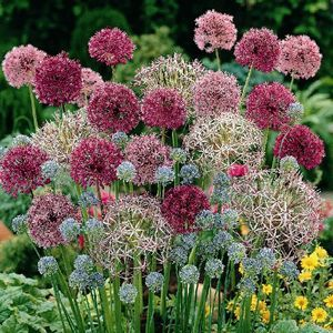 Photo of allium, plant in a great sunny spot for blooms all summer long, so pretty