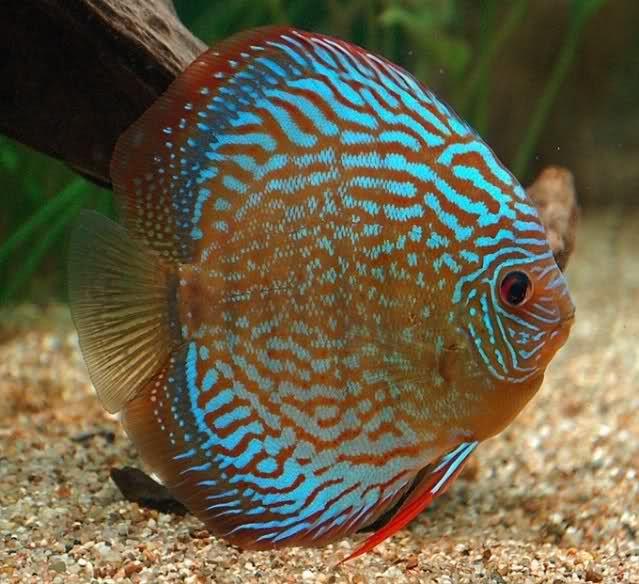 Symphysodon Aequifasciatus Haraldi Lago Manacapuru Royal Blue Discus Discus Fish Aquarium Fish Pet Fish