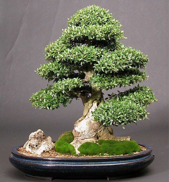 Different types of bonsai trees trees tree photos for Different kinds of bonsai trees