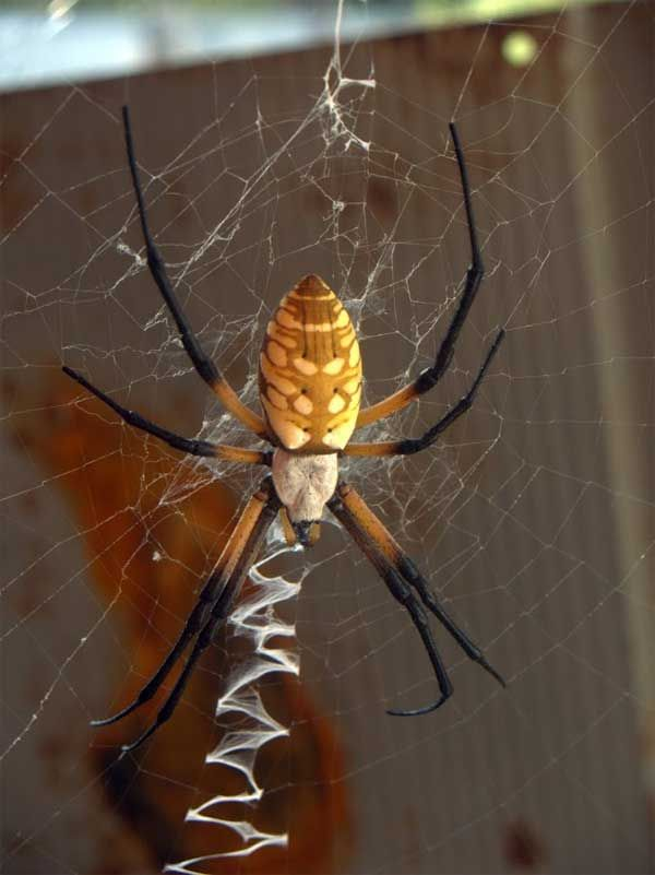 The Black And Yellow Argiope Commonly Called A Cotton Spider In