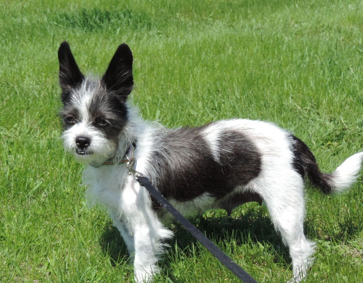 Adopt Bristol On Petfinder Terrier Mix Dogs Dog Adoption Fluffy Dogs