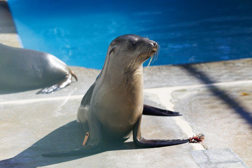One of the more than 50 rescued sea lions rest in one of the quarantine pens at SeaWorld's Animal Rescue ...