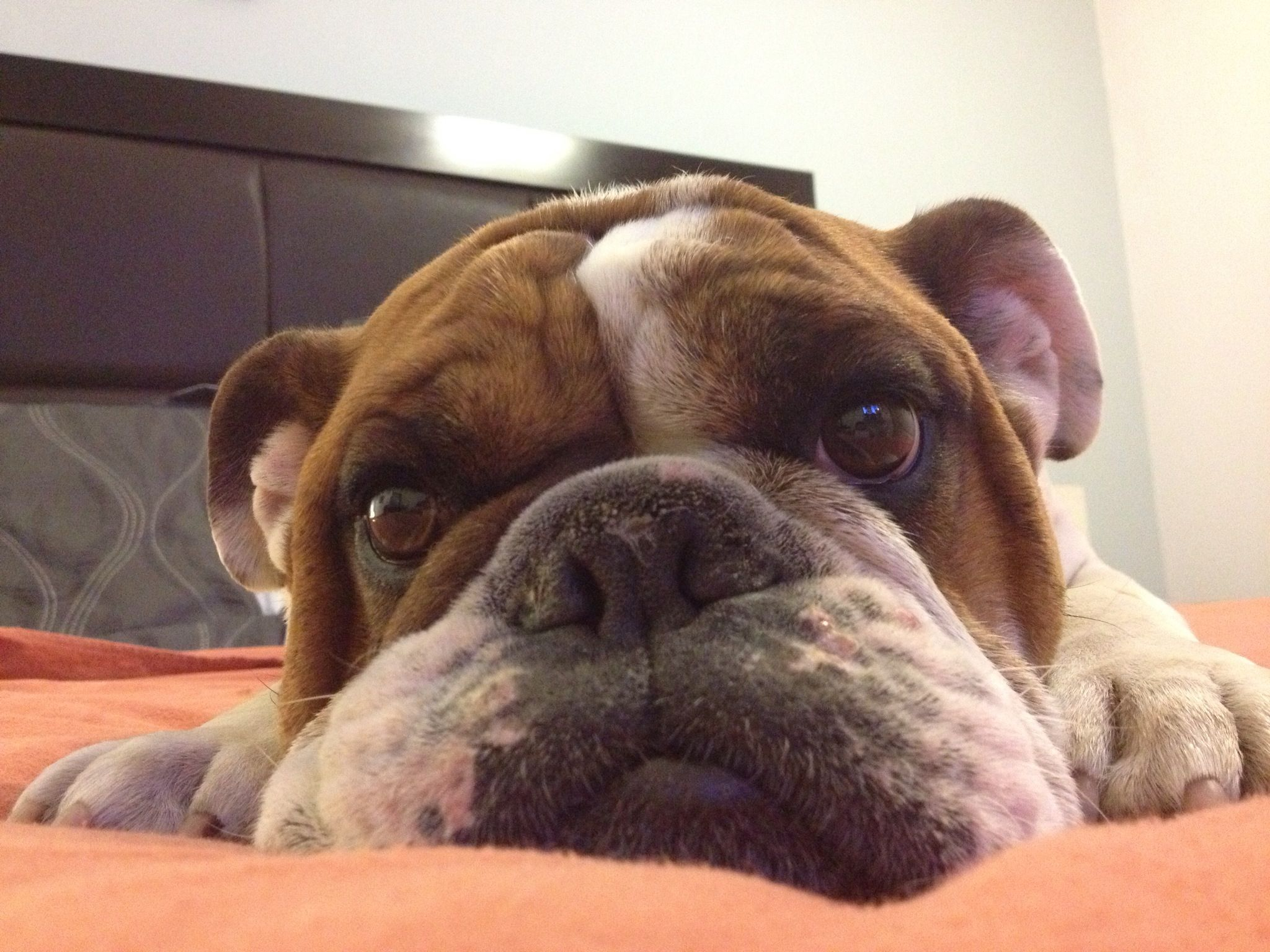 Greko Bulldog