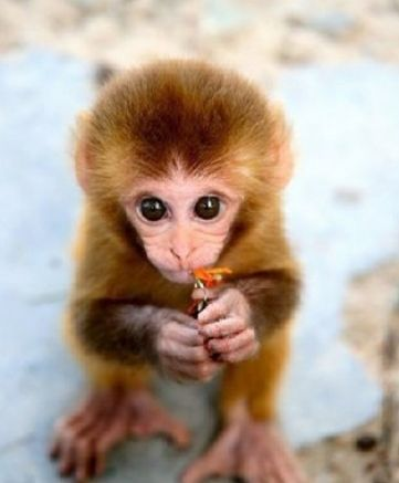 Cute Baby Monkeys Cute Baby Monkey Wallpaper Pictures 4 Cute And
