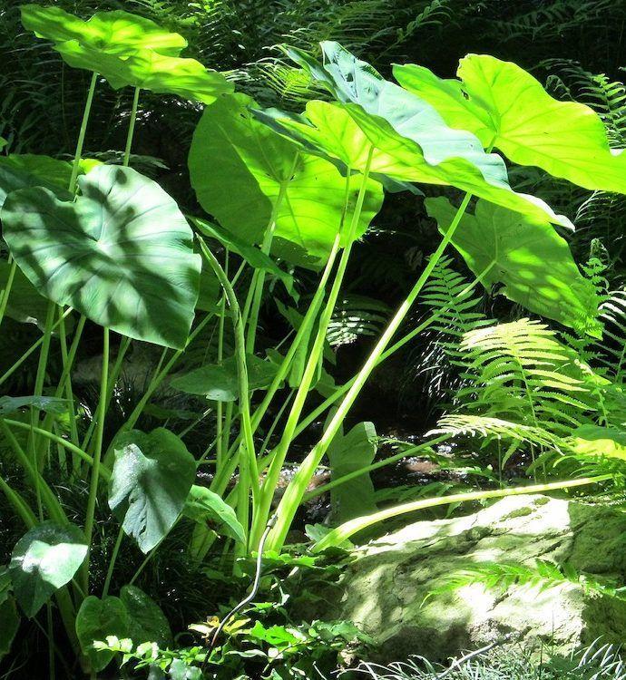 Grow Elephant Ears for a Tropical Garden Look #elephantearsandtropicals Grow Elephant Ears for a Tropical Garden Look #elephantearsandtropicals