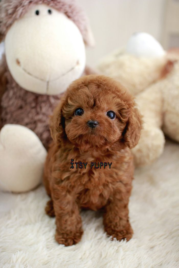 Sold Bruno Teacup Poodle Male Itsy Puppy Teacup Puppies For