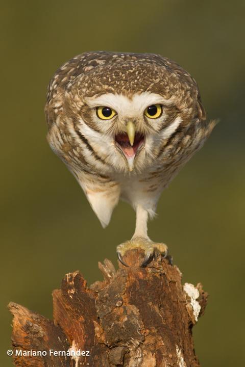 Burrowing Owl (Athene cunicularia) Bird perched.