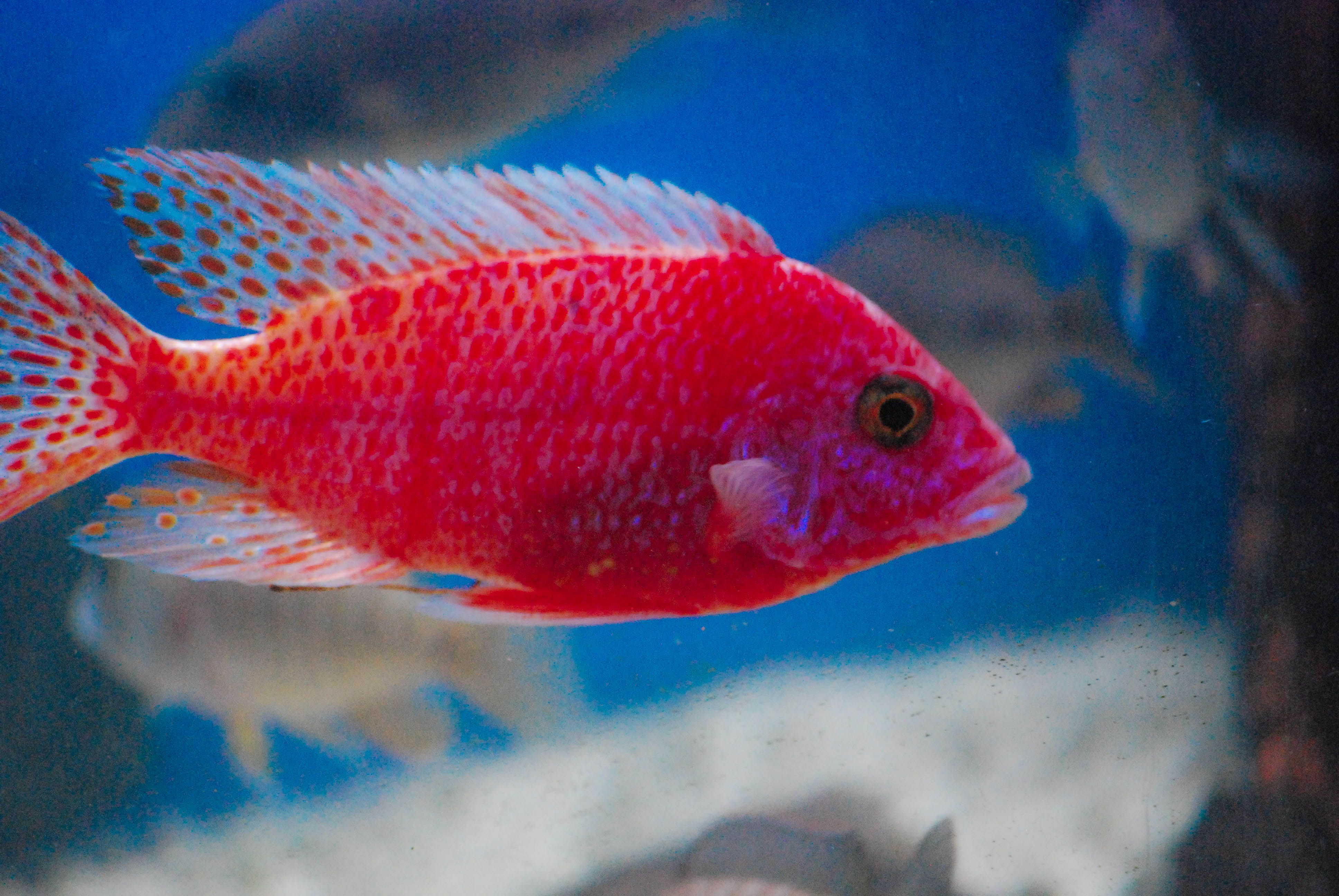 Strawberry peacock cichlid freshwater fish pinterest for Colorful freshwater fish for sale
