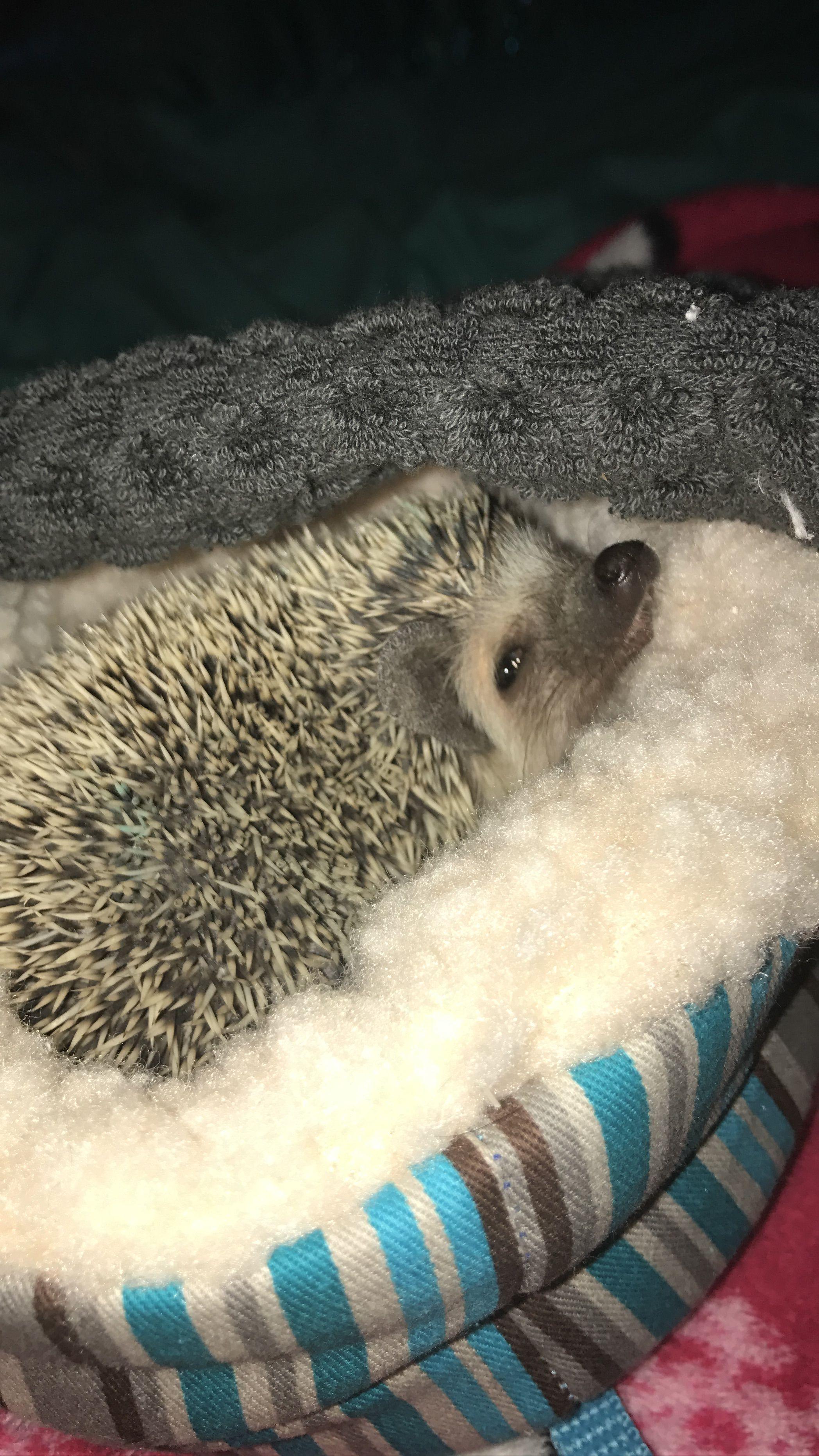 R u serious?? #hedgehog #jacinta