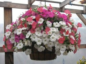 Check out this hanging self-watering pot filled with beautiful Wave Petunias.