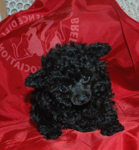Toy Poodle Puppy My Sydney Looked Just Like This When She Was A