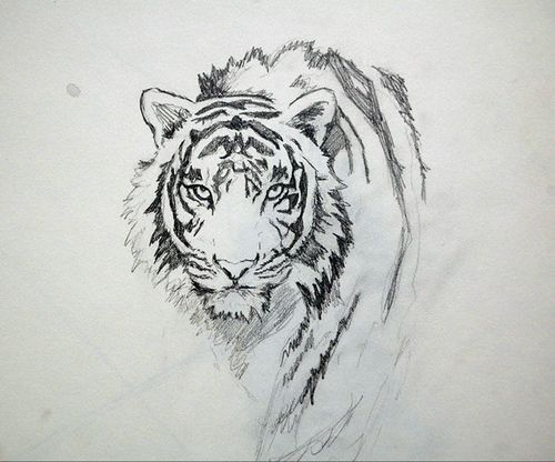 Line Drawing Of A Tiger S Face : Another tiger sketch by me tigers sketches and tattoo
