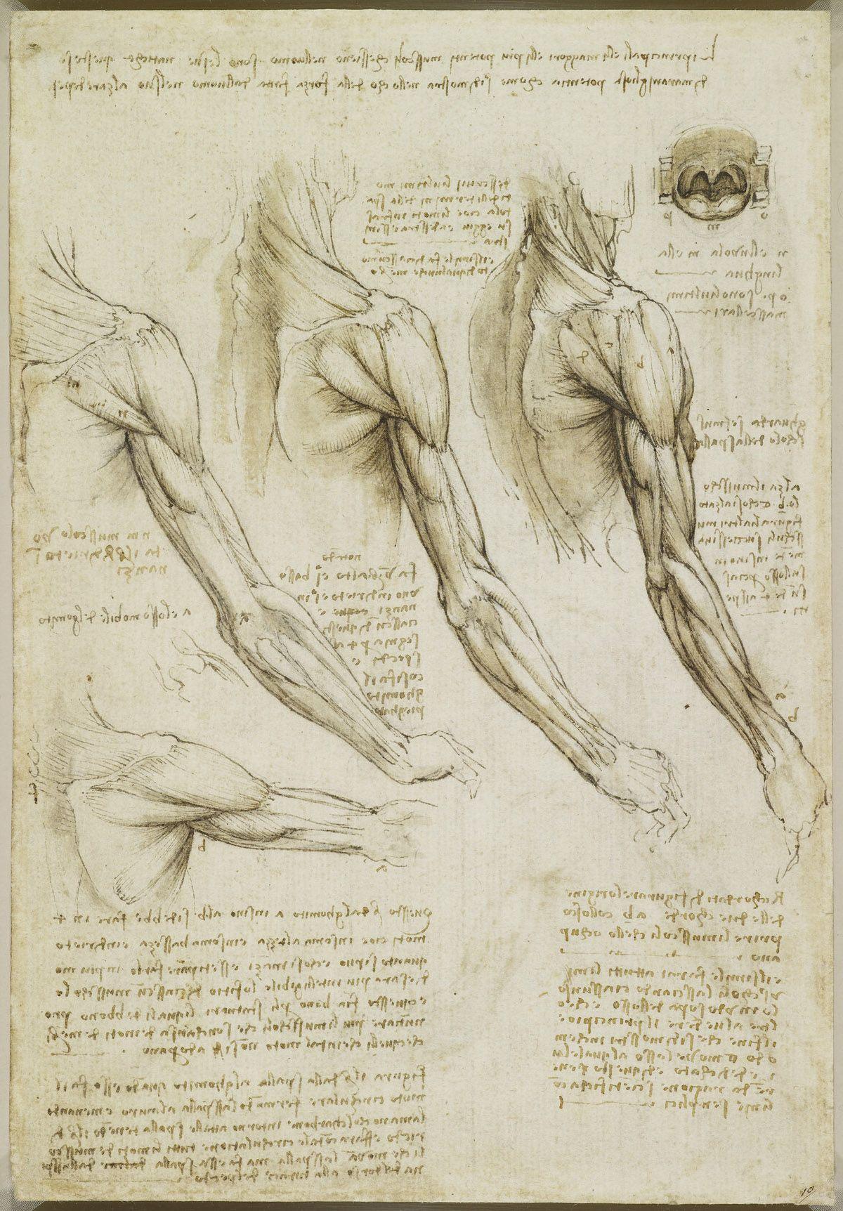 The muscles Leonardo da Vinci (Vinci 1452-Amboise 1519 ...
