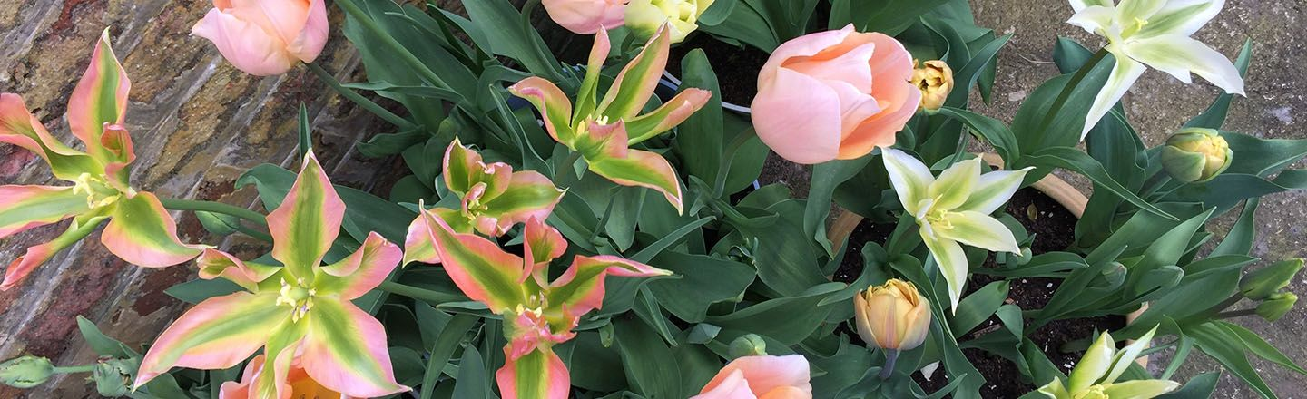 Plant bulbs now for stunning flowers in Spring - tulips