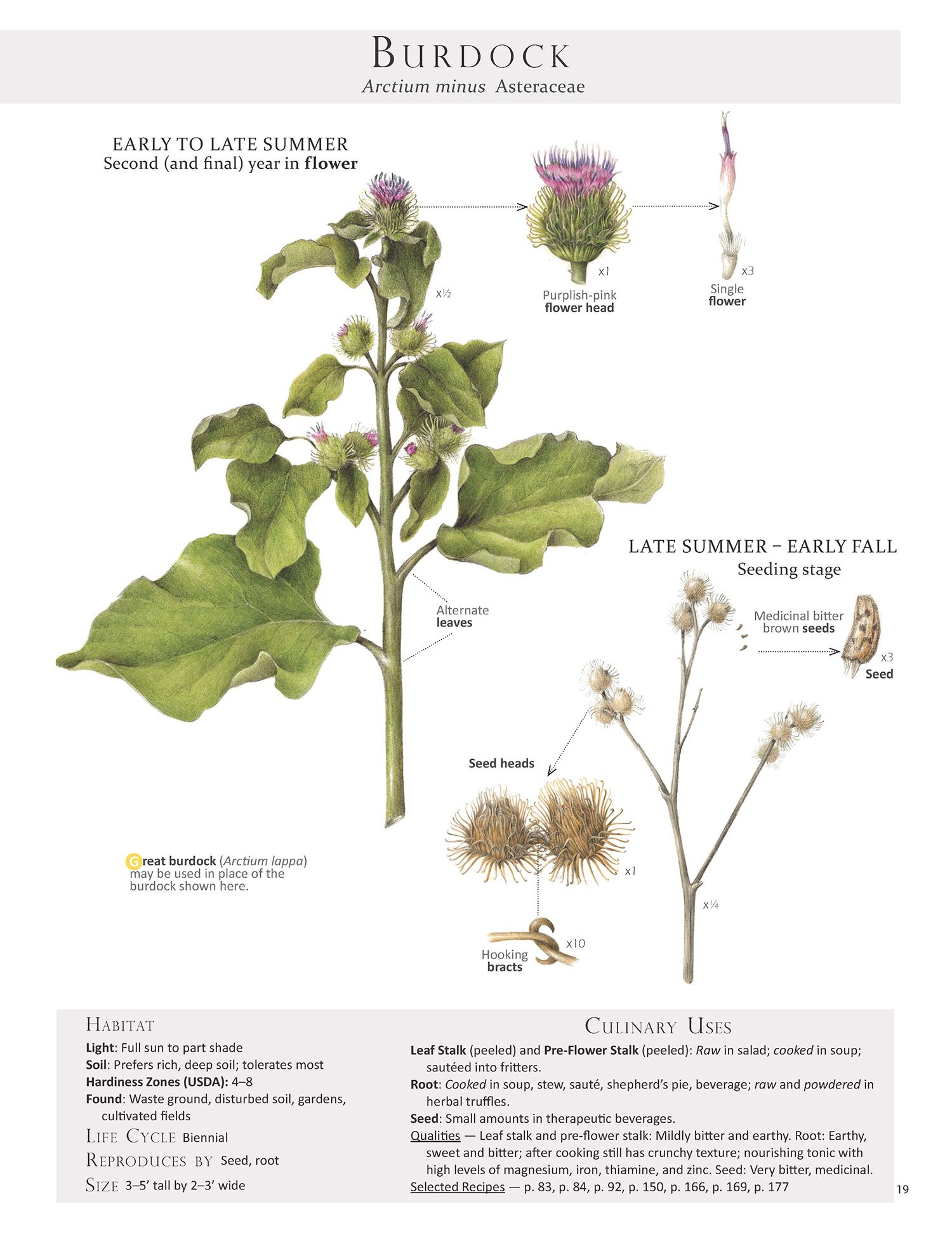 how to grow edible burdock