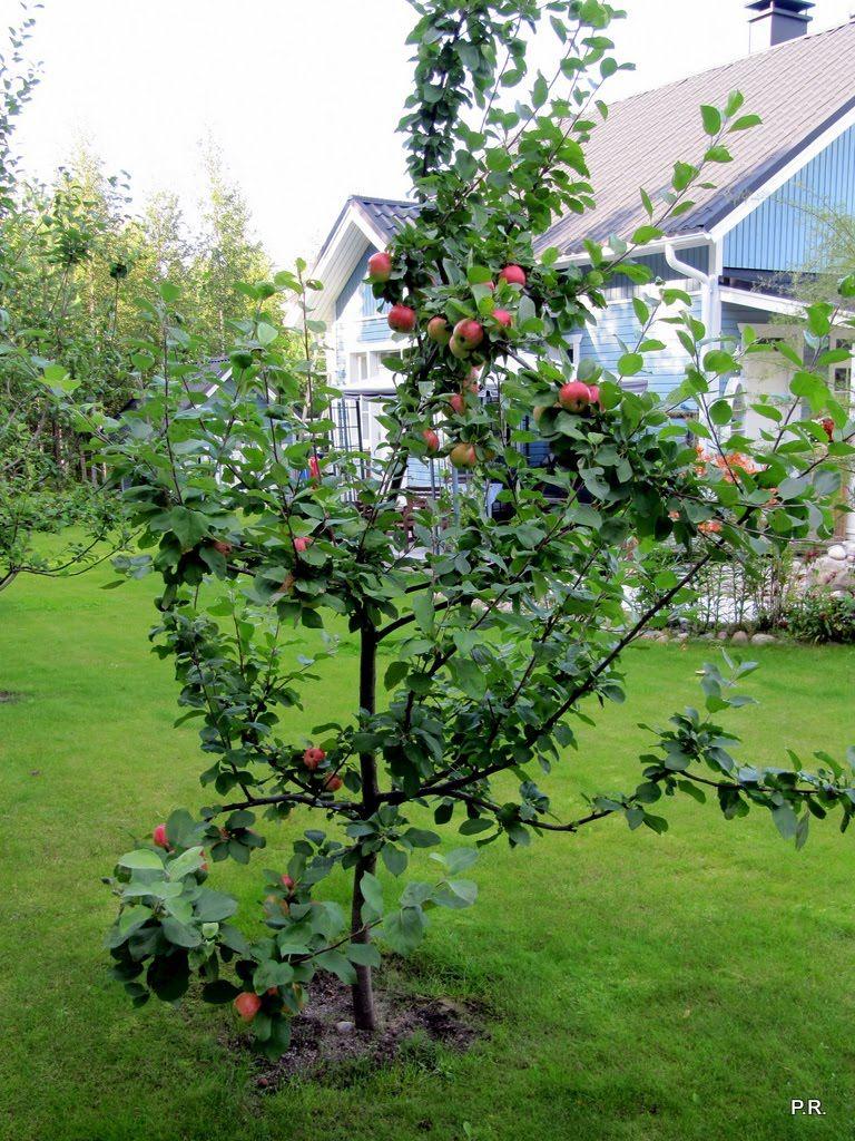 An apple tree ( MALUS DOMESTICA 'PIRJA')