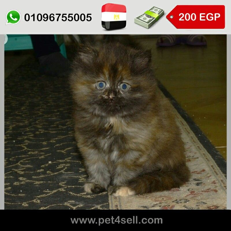مصر القاهرة قطة شيرازي ٤٥يوم مدربه علي الرمل و اكل ابيت و الدراي فود Pet4sell Cats Animals