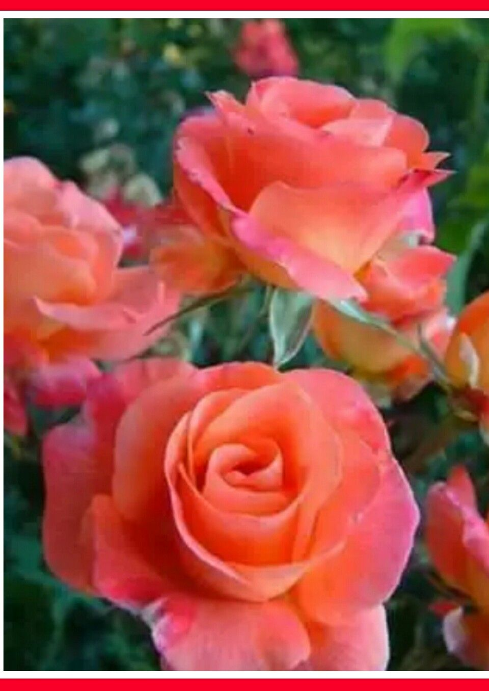 Pin by hg on doadan esintiler pinterest flowers gardens and would love this color rose to be incorporated somewhere izmirmasajfo