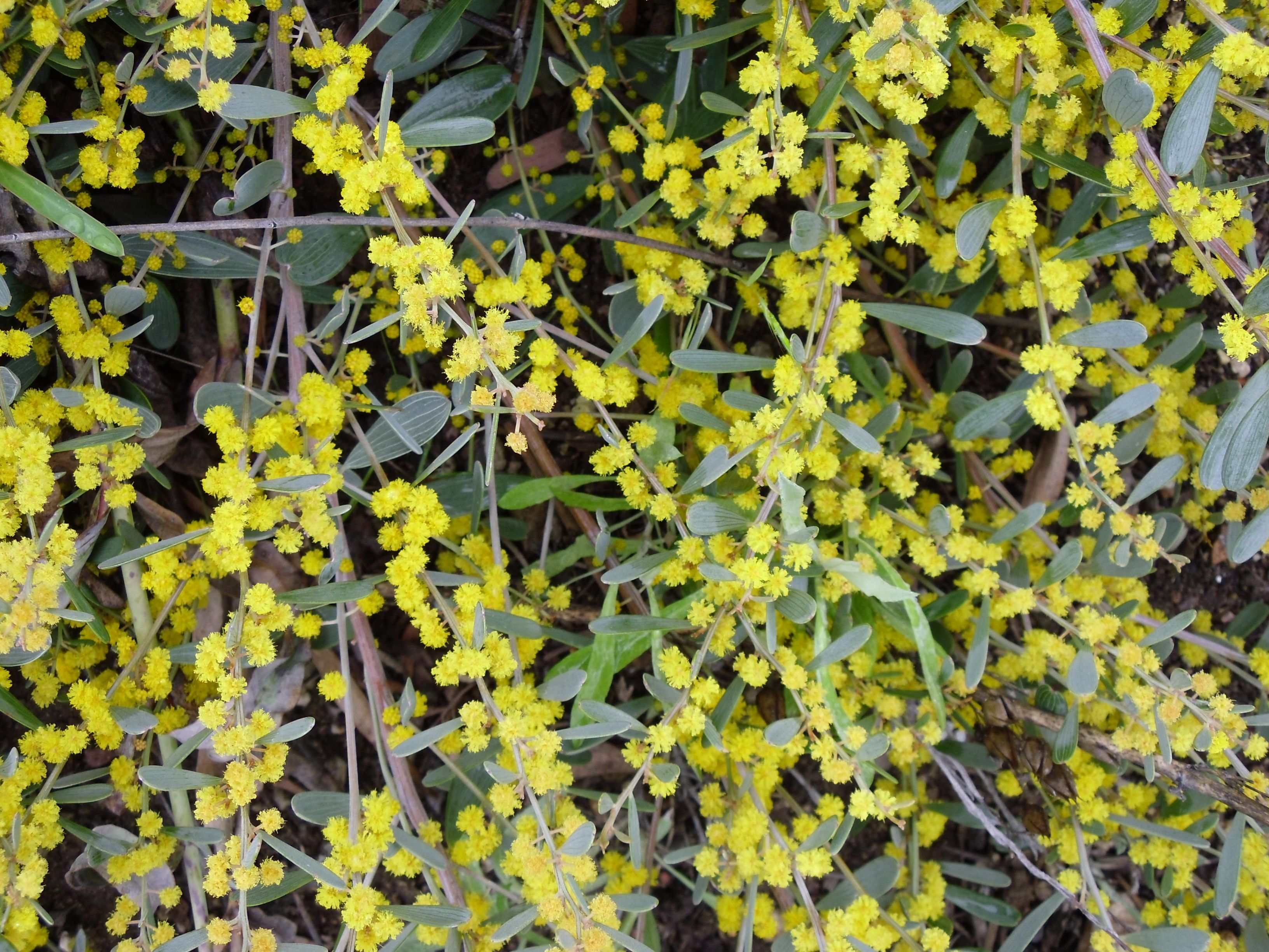 The Leaves And Fuzzy Little Yellow Flowers Of Acacia Redolens A
