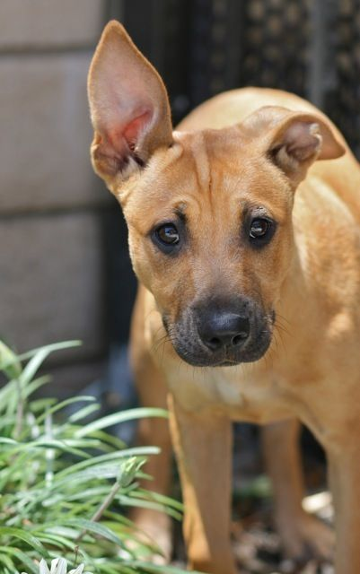 Shepherd Ridgeback Mix Mixed Breed Puppies Hybrid Dogs Dog
