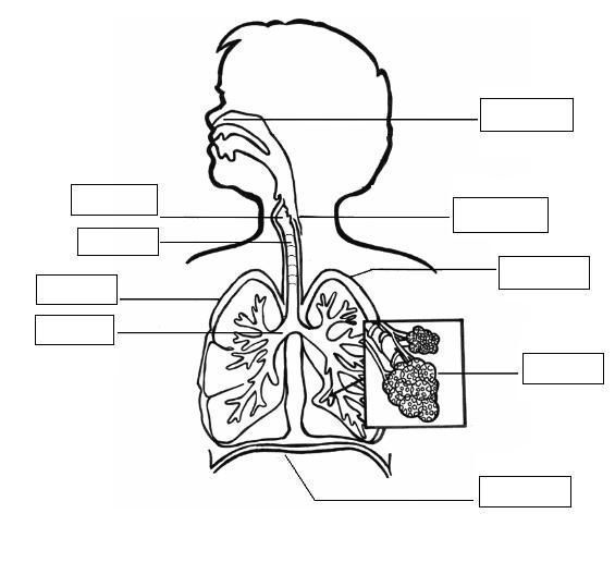 Sistema Respiratorio Para Colorear Print (con imágenes