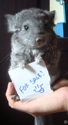 Buying A Chinchilla Chinchilla Stuff To Buy Animals