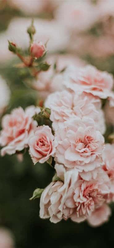 خلفيات ورد للايفون Flowers Flower Arranging Tutorial Rose