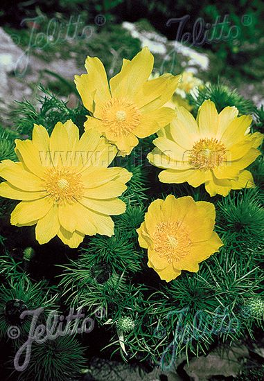 Jelitto Perennial Seed Adonis Vernalis Portion S Perennials