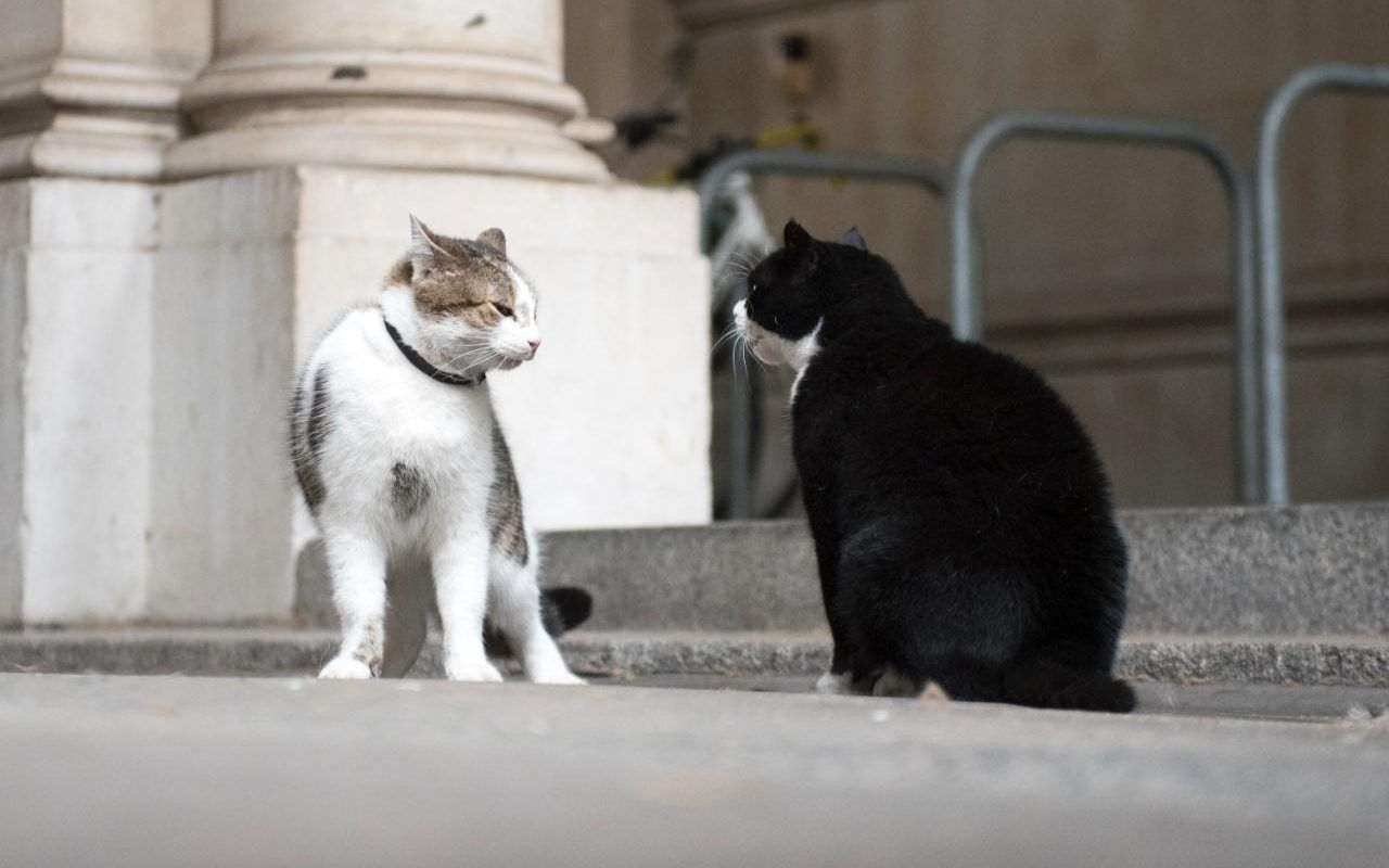 Larry The Cat Treated By Vet Amid Turf War Fracas With Rival Palmerston At No 10 The Telegraph Cats Pretty Cats Cats And Kittens